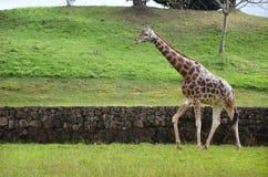 Żyrafa na natury tle zdjęcia stock