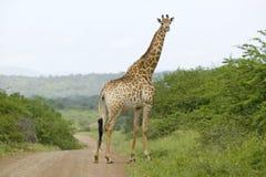 Żyrafa na zakurzony drogowy patrzeć w kamerę w Umfolozi gry rezerwie, Południowa Afryka, ustanawiający w 1897 Obrazy Royalty Free