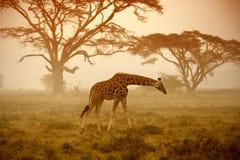Żyrafa, Nakuru zdjęcie stock