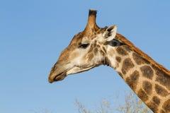 Żyrafa & niebo Zdjęcia Stock