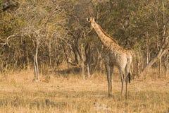 żyrafa obszarów wiejskich Obraz Royalty Free