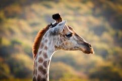 Żyrafa od strony Fotografia Stock