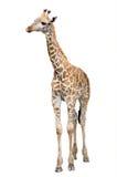 Żyrafa odizolowywa Fotografia Stock