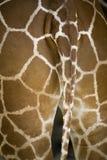 żyrafa ogon Zdjęcie Stock