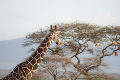 Żyrafa patrzeje daleko od Obraz Royalty Free
