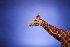 Żyrafa patrzeje od kąta rama Obraz Royalty Free