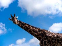 Żyrafa patrzeje w dół przy kamerą Fotografia Stock