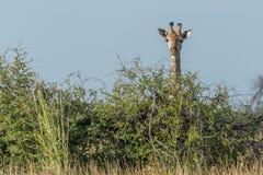 Żyrafa podpatruje nad krzakiem pod niebieskim niebem Zdjęcie Stock
