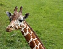 żyrafa portret Obraz Royalty Free