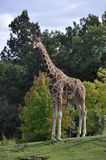 żyrafa portret Zdjęcie Royalty Free