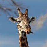 żyrafa portret Fotografia Royalty Free