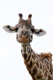 żyrafa portret Obraz Stock