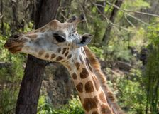 Żyrafa portret w Afryka przyrody konserwaci w zoo lub Fotografia Royalty Free