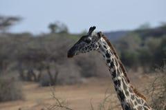 Żyrafa profil Fotografia Royalty Free
