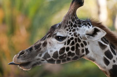żyrafa profilowy s Zdjęcia Stock