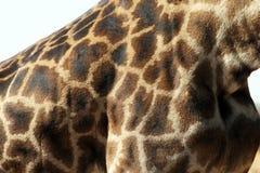 Żyrafa projekt Obrazy Royalty Free