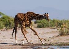 Żyrafa przy podlewaniem Kenja Tanzania 5 2009 Africa tana wschodnich maasai marszu spełniania Tanzania wioski wojowników Obraz Stock