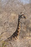 Żyrafa przy Ruaha parkiem narodowym, Tanzania wschód Afryka Obrazy Stock