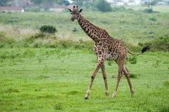Żyrafa przy Serengeti parkiem narodowym, Tanzania, Afryka Obrazy Stock