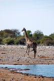 Żyrafa przy waterhole Zdjęcia Royalty Free