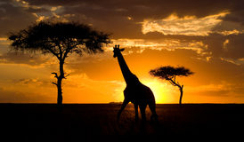 Żyrafa przy zmierzchem w sawannie Kenja Tanzania 5 2009 Africa tana wschodnich maasai marszu spełniania Tanzania wioski wojownikó Zdjęcie Stock
