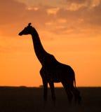 Żyrafa przy zmierzchem w sawannie Kenja Tanzania 5 2009 Africa tana wschodnich maasai marszu spełniania Tanzania wioski wojownikó Zdjęcie Royalty Free