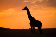 Żyrafa przy zmierzchem w sawannie Kenja Tanzania 5 2009 Africa tana wschodnich maasai marszu spełniania Tanzania wioski wojownikó Obraz Stock