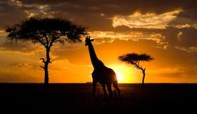 Żyrafa przy zmierzchem w sawannie Kenja Tanzania 5 2009 Africa tana wschodnich maasai marszu spełniania Tanzania wioski wojownikó Obrazy Stock