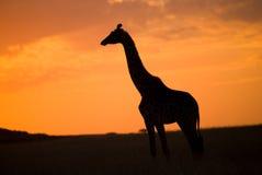Żyrafa przy zmierzchem w sawannie Kenja Tanzania 5 2009 Africa tana wschodnich maasai marszu spełniania Tanzania wioski wojownikó Fotografia Royalty Free