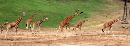 żyrafa rodzinna Fotografia Royalty Free