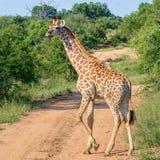 żyrafa samotna Zdjęcia Royalty Free