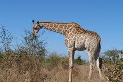 Żyrafa sylwetkowa przeciw niebieskiemu niebu zdjęcia royalty free