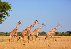 Żyrafa Thornycroft - endemiczny w zambiach Obraz Royalty Free