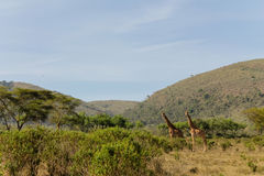 Żyrafa w Afrykańskim savana Obraz Stock