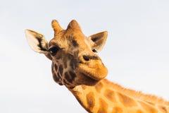 Żyrafa w Afryka Zdjęcia Stock