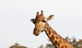 Żyrafa w Afryka Obrazy Royalty Free