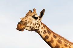 Żyrafa w Afryka Obraz Stock