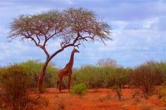Żyrafa w Afryka pod drzewo konturem Zdjęcie Stock