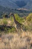Żyrafa w Afrykańskim bushveld Obraz Royalty Free