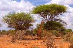 Żyrafa w Afryka Tsavo parku narodowym Zdjęcia Royalty Free