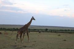 Żyrafa w dzikim maasai Mara Zdjęcie Stock