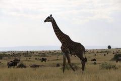Żyrafa w dzikim maasai Mara obrazy stock