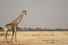 Żyrafa w Etosha Obrazy Stock