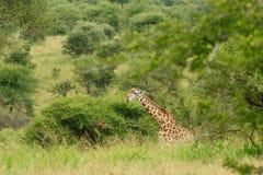 Żyrafa w krzaku Obrazy Stock