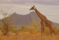 Żyrafa w krzaku fotografia royalty free
