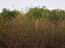 Żyrafa w krzaku zambiowie Fotografia Stock