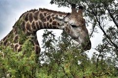 Żyrafa w lesie Zdjęcie Royalty Free