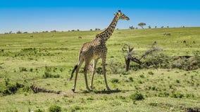 Żyrafa w Masai Mara parku narodowym obrazy royalty free
