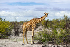 Żyrafa w Namibia Zdjęcia Royalty Free
