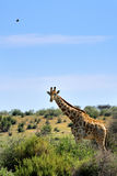 Żyrafa w Namibia Obrazy Stock
